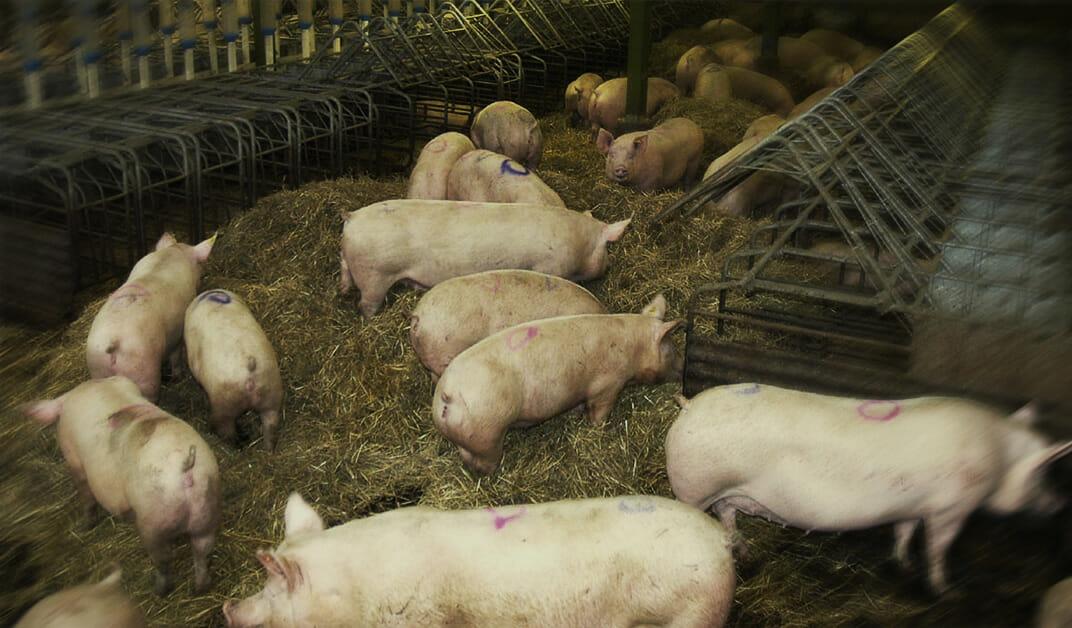 Exportação de carne suína avança 63%