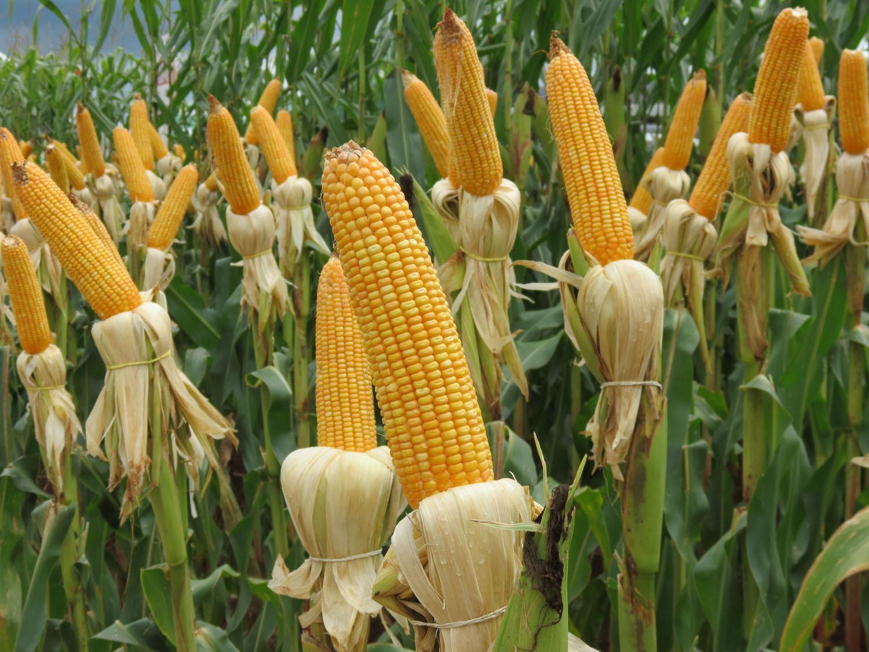 Importadores do Irã compram mais de 500 mil t de milho do Brasil