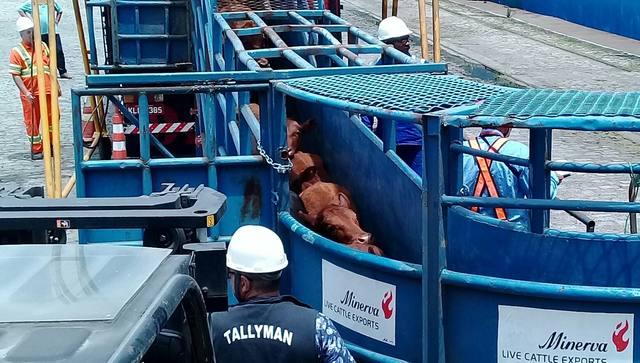 Boi: Justiça Federal libera exportação de animais vivos pelos portos brasileiros