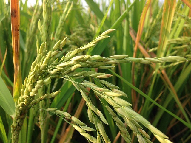 China emite sinal positivo e Brasil poderá vir a exportar arroz para o gigante asiático